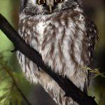 Chouette de Tengmalm Aegolius funereus Boreal Owl
